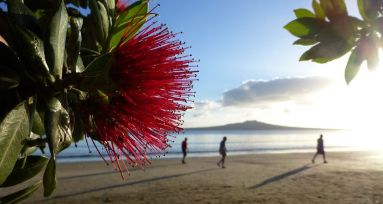 New Zealand beach at Christmas time with flowering Pohutukawa tree